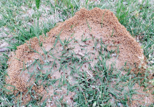 Fire_Ant_Nest