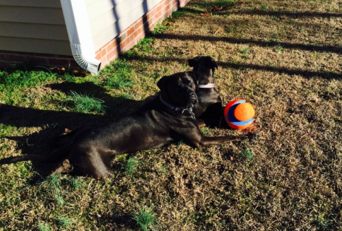 K9sOverCoffee.com | Missy & Buzz in the backyard with their chuck it kick it ball