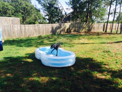 Boxerdog_pool_sprinkler