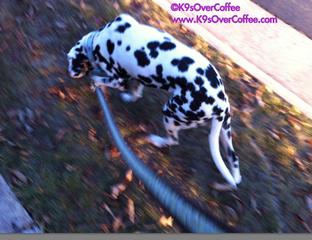 K9sOverCoffee | Walking Pebbles, The Deaf Dalmatian