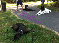 rsz_dogs_training_down_stay