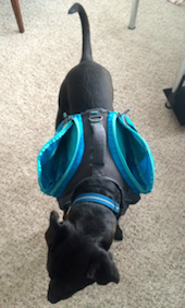 K9sOverCoffee.com | Buzz carrying an empty dog backpack