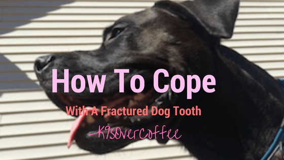 K9sOverCoffee | How To Cope With A Fractured Dog Tooth