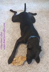 Our_dog_Buzz_with_VenisonChew_by_Bestbullysticks