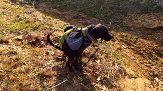 K9sOverCoffee | A Dog poops outside on a walk