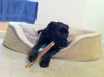 K9sOverCoffee | Puppy Buzz Cleaning His Teeth With A Bully Stick