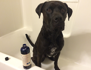 Buzz sitting in tub with Dr. Harvey's Herbal Shampoo
