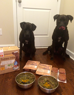 K9sOverCoffee |Buzz anticipating his raw dog food consisting of Darwin's Raw Mixed With THK Grain-Free Base Mix Preference