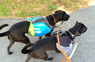 Buzz carrying Earthrated Poop Bags on his Dog Backpack