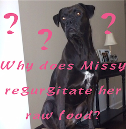 Why does Missy regurgitate her Darwin's Raw Dog Food?