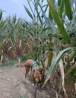 K9sOverCoffee.com | My dog Wally inspecting a corn maze