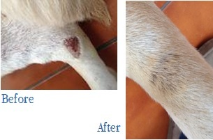Before & after picture of Anicura's K9 client Bob (he used the dog spray)