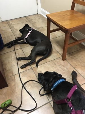 Missy & Buzz tired after their annual wellness screen at the vet's