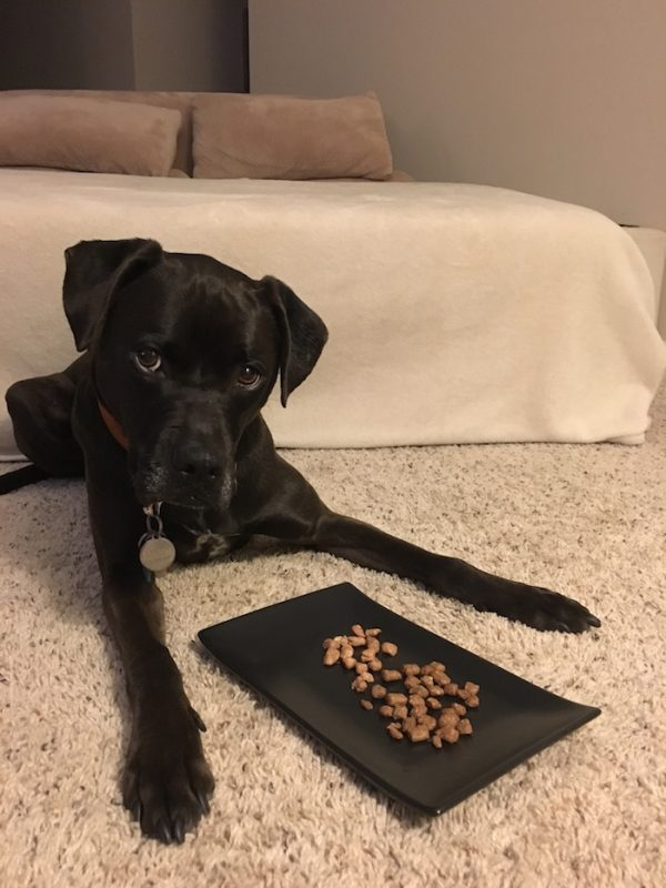 K9sOverCoffee | Missy Waiting Patiently To Dig Into Her Freeze-Dried Turkey & Duck Nibs From Vital Essentials
