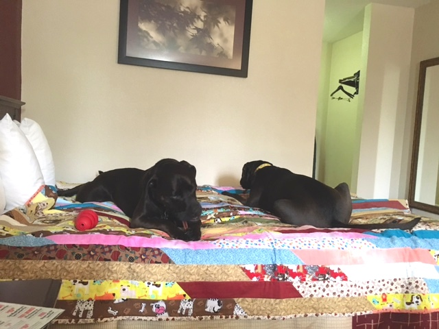 Quilt-Lined Bed For My Dogs at Pet-Friendly Red Roof Inn