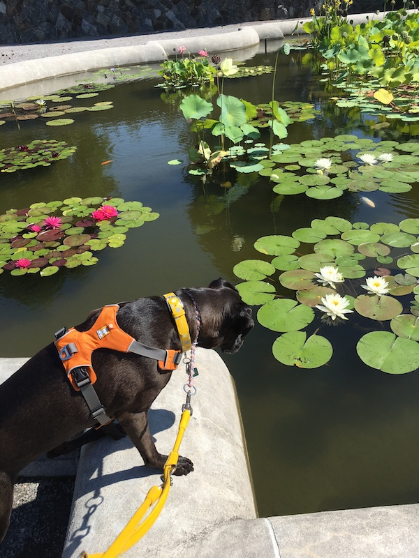 Missy Strengthening Her Core By Placing Her Front Paws on The Wall Surrounding The Water Garden At Biltmore Estate