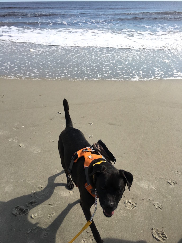 K9sOverCoffee | Missy Enjoying A Walk At The Beach in NC