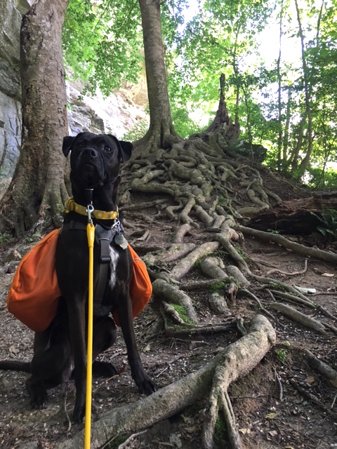 K9sOverCoffee.com | Missy on a hike with her Ruffwear dog backpack