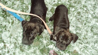 Missy & Buzz Going For Their First Leashed Snow Walk