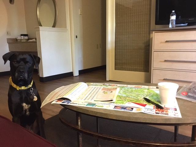 K9sOverCoffee | Winter Getaway to Hilton Head Island's Dog-Friendly Red Roof Inn - Missy Patiently Waiting For Mommy To Be Done Studying The Island Map & Restaurant Guide