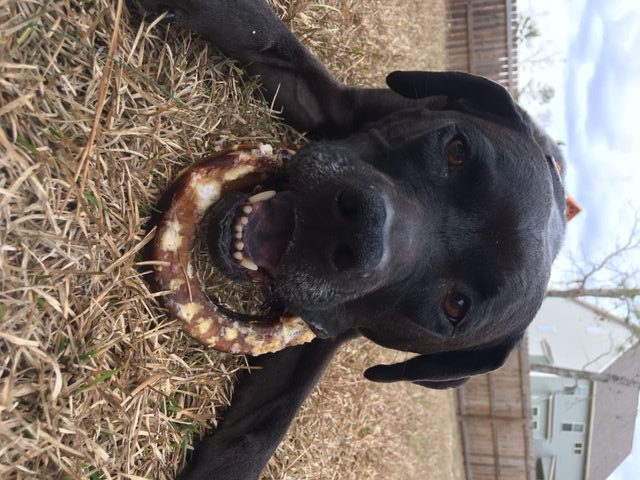K9sOverCoffee | A Twist On Doggie Dental Care - Missy Cleaning Her Teeth With A Bully Stick