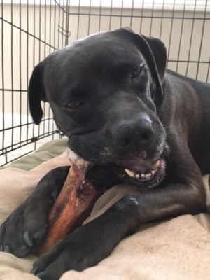 K9sOverCoffee | A Twist On Doggie Dental Care - Missy Cleaning Her Teeth With The End Of A Bull Pizzle