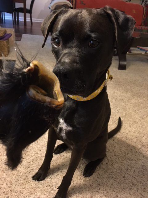 K9sOverCoffee | A Twist On Doggie Dental Care - Missy Ready To Clean Her Teeth With A Hair Cow Ear