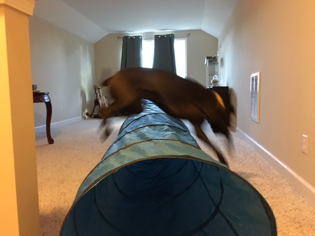 K9sOverCoffee | How To Exercise Your Active Dog When You're Sick - Missy Jumping Over Her Tunnel