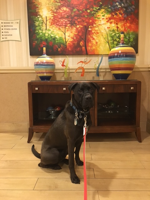K9sOverCoffee | Our First Experience At Pet-Friendly La Quinta Inns & Suites - Buzz posing on the way to our room
