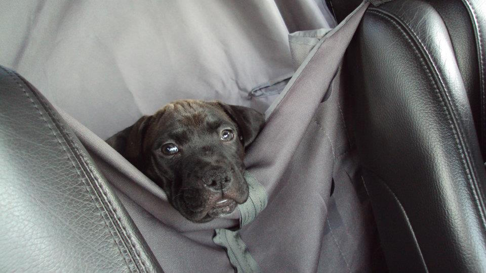 K9sOverCoffee | Puppy Missy Enjoying Hanging Out in The Car