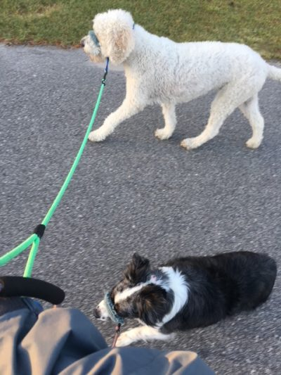 K9sOverCoffee | Walking 2 Client Dogs On A Head Collar