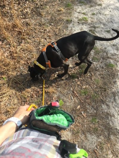K9sOverCoffee   Using Mighty Paw's Treat Pouch On A Walk With My Pup Missy (RIP)