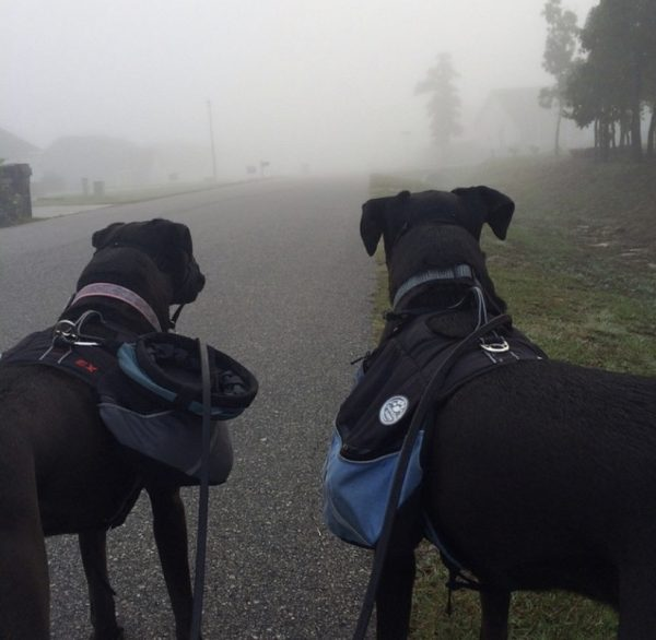 K9sOverCoffee | Boxer mixes Missy & Buzz out on a backpack walk
