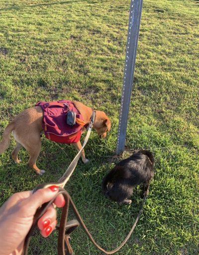 K9sOverCoffee | Wally out on a Ruffwear Commuter backpack walk with doggie friend Lila