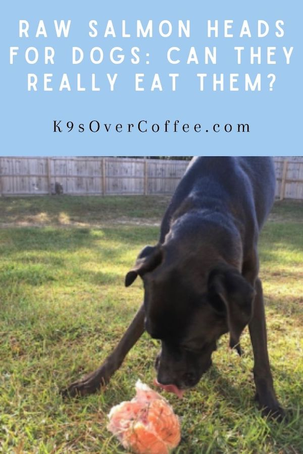K9sOverCoffee.com | Raw Salmom Heads for Dogs: Can They Really Eat Them?