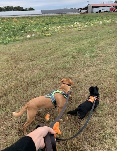 Wally and Lila at a dog-friendly pumpkin patch in NC
