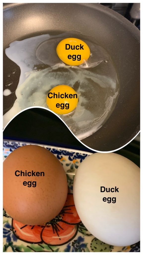 K9sOverCoffee.com | Duck egg versus chicken egg