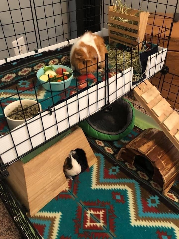 Guinea pigs Ruby and Lady eat fresh food every day