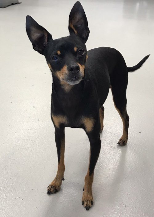 K9sOverCoffee | Raw-Fed MinPin Mix Gordy