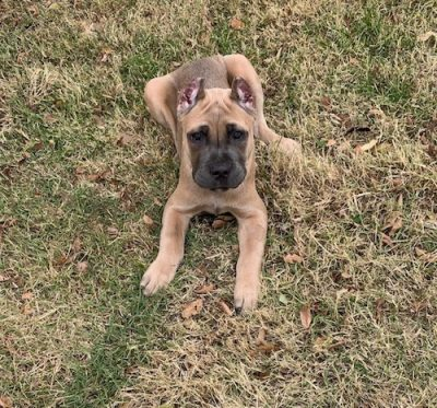 K9sOverCoffee | 13 week old Cane Corso puppy Amber won the turkey neck giveaway