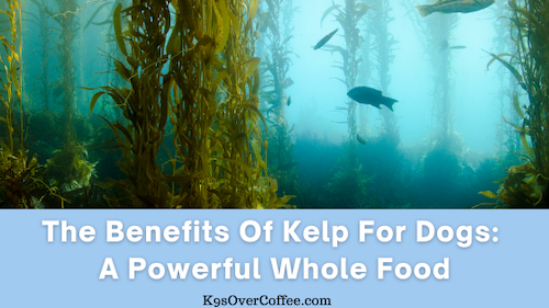 K9sOverCoffee | The Benefits of Kelp For Dogs: A Powerful Whole Food