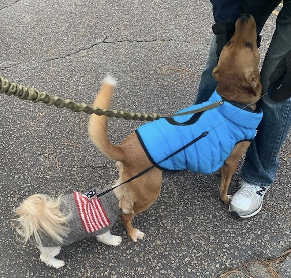 K9sOverCoffee.com | Walking Wally on his dual handle bungee dog leash from Mighty Paw