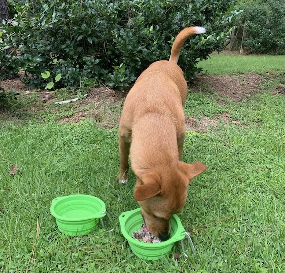 K9sOverCoffee.com | Wally eating out of Mighty Paw's collapsible dog travel bowls