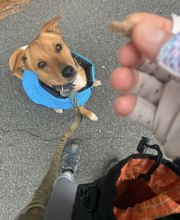 K9sOverCoffee.com | Wally on a walk with the Mighty Paw dual handle bungee leash and dog treat pouch