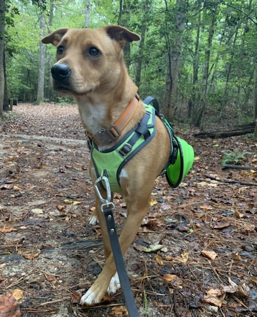 K9sOverCoffee.com | Wally wearing Mighty Paw's sport dog harness 2.0 and collapsible travel bowl