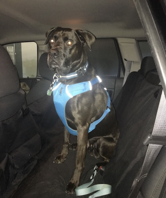 K9sOverCoffee.com | Buzz in the car with Ruffwear's Front Range Harness
