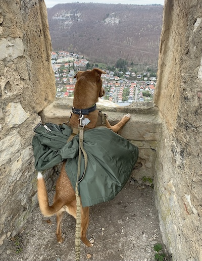 K9sOverCoffee.com | Dog-Friendly Hikes in Germany: Wally enjoying the view from the Fortress Hohenurach in Germany
