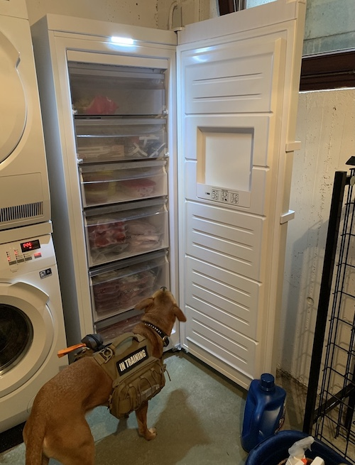 K9sOverCoffee.com | Wally checking out his upright freezer that holds his raw dog food
