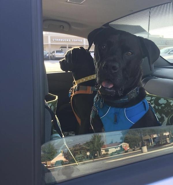 K9sOverCoffee.com |  Missy & Buzz dans la voiture avec leur harnais Ruffwear Front Range