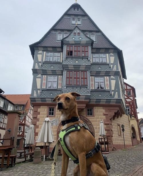 K9sOverCoffee.com |  Wally portant le Mighty Paw Sport Harness 2.0 dans la ville historique de Miltenberg, en Allemagne